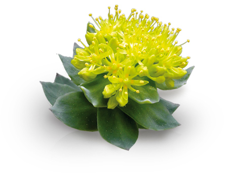Rhodiola Rosea Review