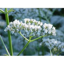 Valeriana officinalis Review